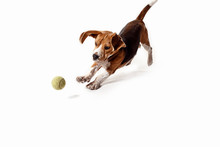 Front View Of Cute Beagle Dog With Ball Isolated On A White Studio Background