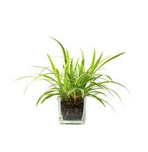 Spider Plant,Closeup Of Succul...