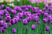 Lawn With Purple Tulips.