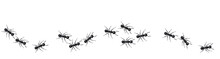A Line Of Worker Ants Marching...