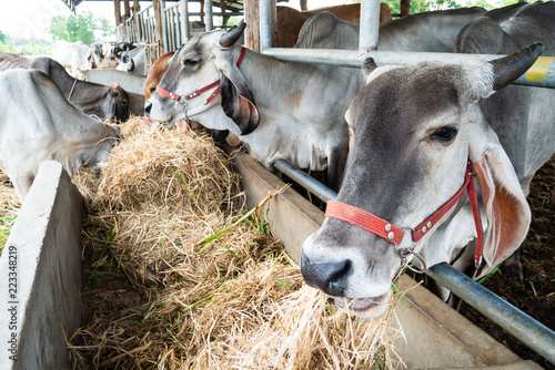 Cow eating rice straw in the cowshed, livestock in Thailand