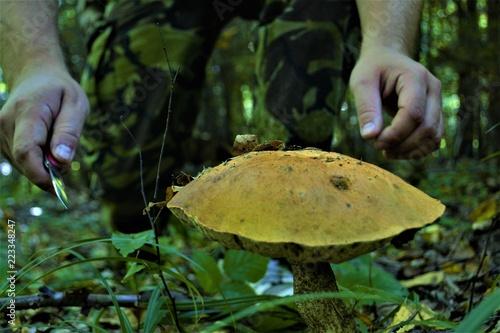 Fotografie, Obraz  человек срезает гриб в лесу