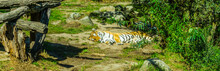 Striped Tiger Lying Down And Sleeping In A Green Nature Landscape