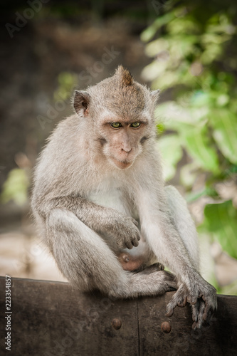 In de dag Aap Portrait of long tailed macaque monkey in his natural environmen