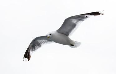 sea gull on white background