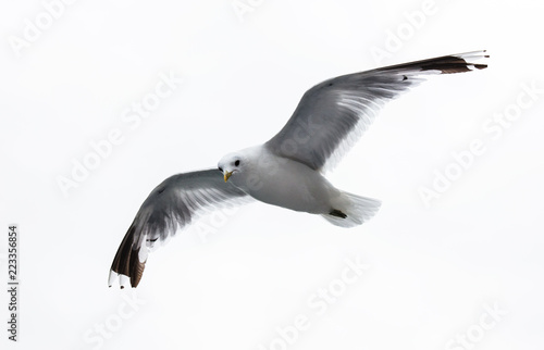 sea gull on white background