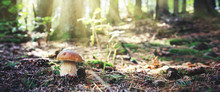 Porcini Mushroom In The Autumn...