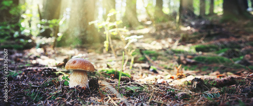 Stampa su Tela Porcini mushroom in the autumn forest. Nature background.
