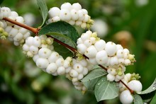 Covered With Berries Branch Of A Bush Of Snowberry In The Garden In The Autumn Close-up.