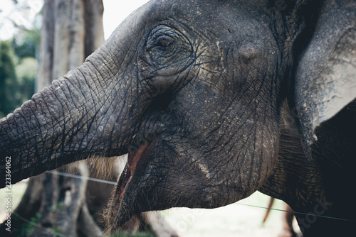Foto op Aluminium Olifant Asian Elephant in captive