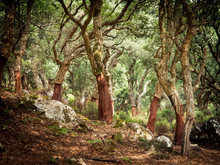 Cork Oaks In The Andalusian Co...