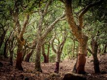 "Cork Oaks In The Andalusian Countryside. ""Parque De Los Alcornocales"", Algeciras, Andalusia, Spain, Europe"