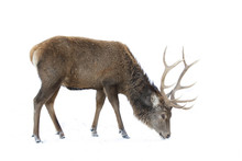 Red Deer Isolated On White Bac...