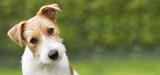 Fototapeta Zwierzęta - Funny head of a happy cute jack russell puppy pet dog - web banner idea