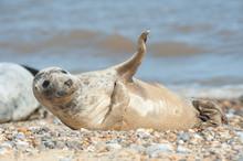 Joyful Seal Pup On A Stony Beach