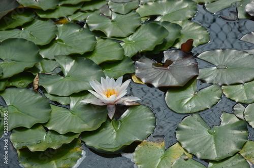 Fototapeta Lilia wodna  lilia-wodna-nymphaea-alba-ostrawskie-spojrzenia