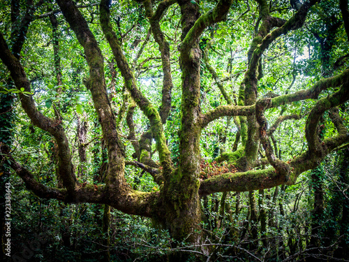 Fototapeta outdoor image of old trees, covered with moss, mysterious forest - fantastic realism in nature obraz