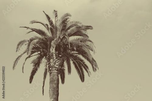 Palm tree / Palm