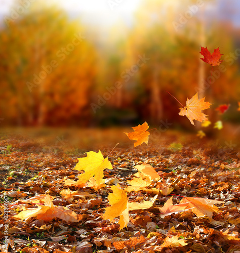 obraz PCV Beautiful autumn landscape with yellow trees and sun. Colorful foliage in the park. Falling leaves natural background .Autumn season concept