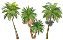 Coconut, Date And Acai Palm Tr...