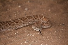 Close Up Of Rattle Snake Head Over Sandy Ground
