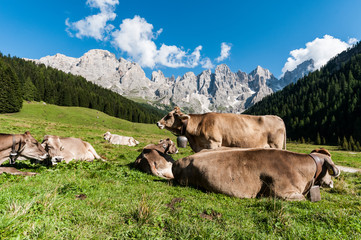 Trentino, mucche al pascolo