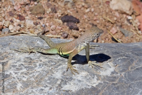 Photo  Greater Earless Lizard Basking on Rock on Sunny Day