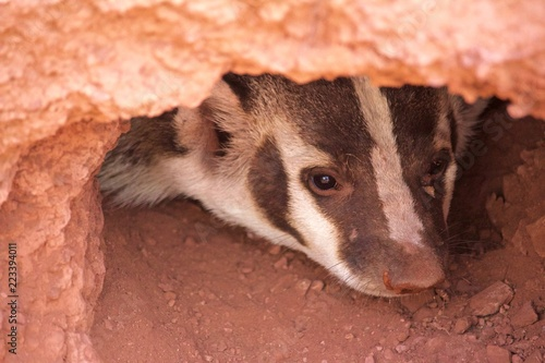 Slika na platnu A Badger Peers Out of Burrow of Red Soil