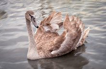 One Young Swan With Broun Feathers
