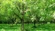 Walnut plantation in the Perigord, France