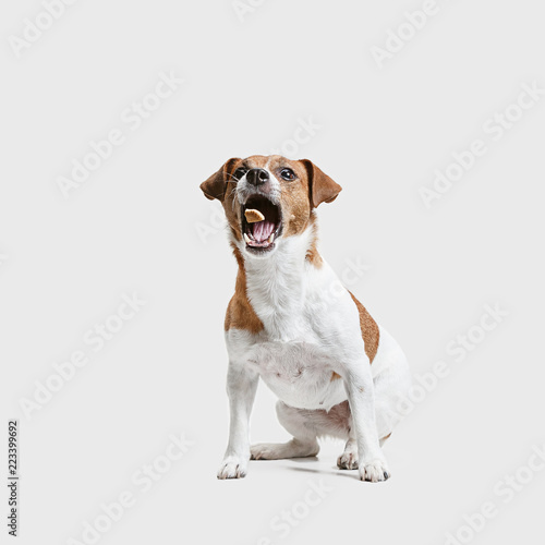 Fotografia Jack Russell Terrier, isolated on white at studio
