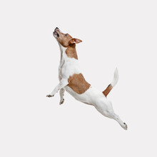 The Jumping Jack Russell Terri...