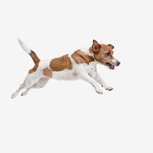 The Jumping Jack Russell Terrier, Isolated On White At Studio