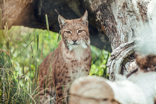 Lynx sitting on branch