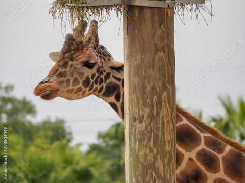 Photo  Giraffe showing Teeth