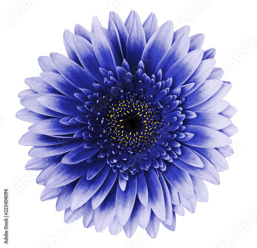 blue-ultramarine gerbera flower on a white isolated background with clipping path. Closeup. For design. Nature.
