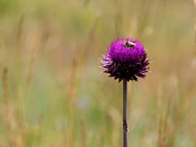 Purple Musk Thistle Wild Flower On A Meadow With Bee Sitting On Top