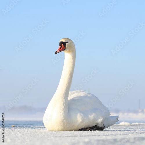 Beautiful swan on frozen lake ,Latvia