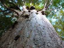 The Oldest Kauri Tree In The World (Agathis Australis), Waipoua Forest, New Zealand