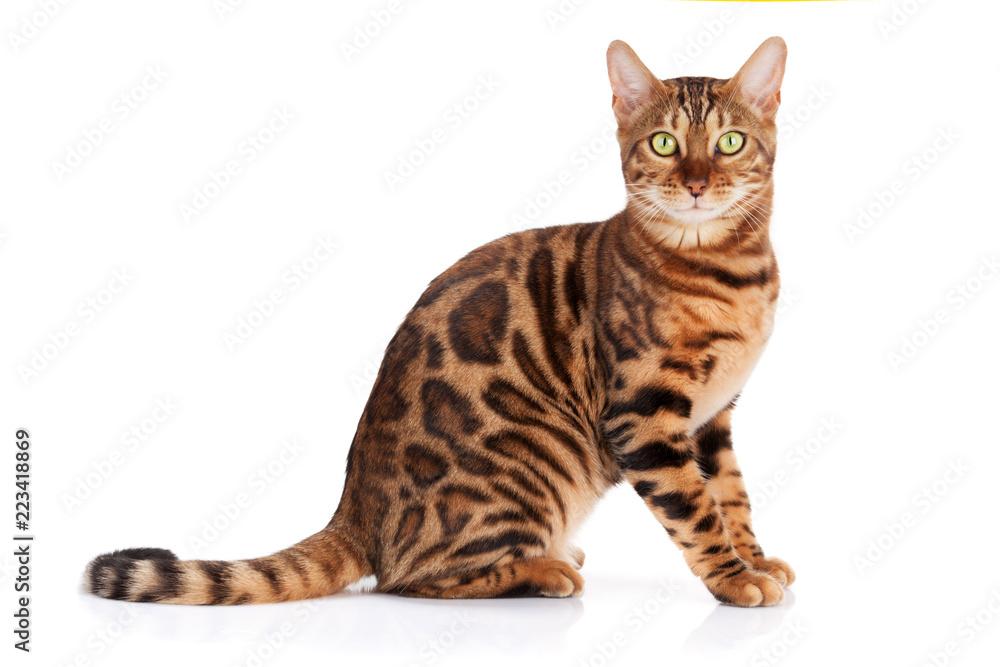 Fototapeta Bengal cat