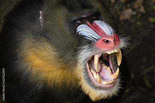 monkey mandril open mouth