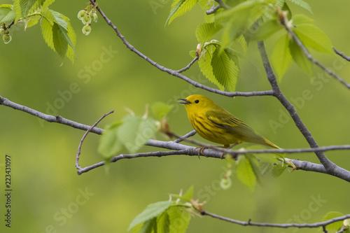 Leinwand Poster Yellow warbler (Setophaga petechia) in spring