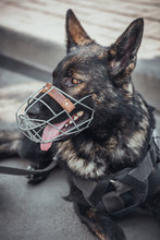 A Police Dog In A Muzzle