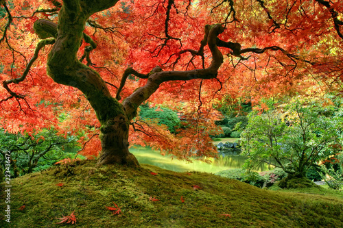 Tuinposter Bomen Japanese Maple tree in autumn on mossy mound