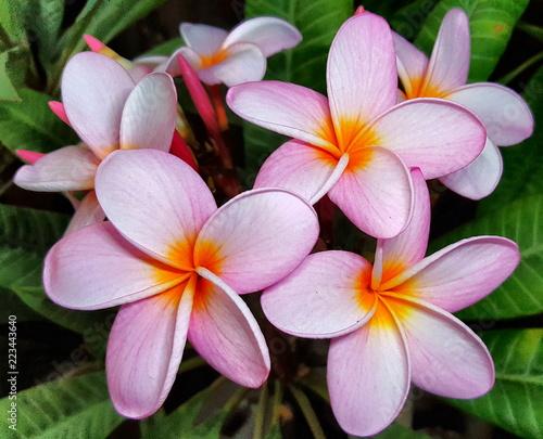 Flowers, Plumeria, Plumerias