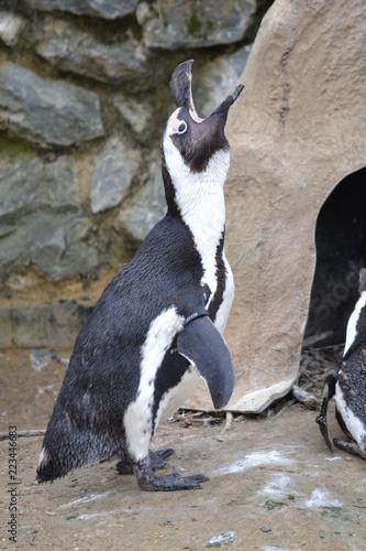 Penguin Calling Fototapet