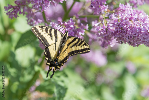 Poster Vlinder Swallowtail butterfly with wings open resting on purple lilac flowers in early summer