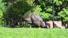 Wild Turkey Foraging In The Ba...