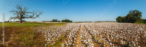 Photo Alabama Cotton Field