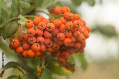 Fotografie, Obraz  A branch of autumnal rowan tree close-up